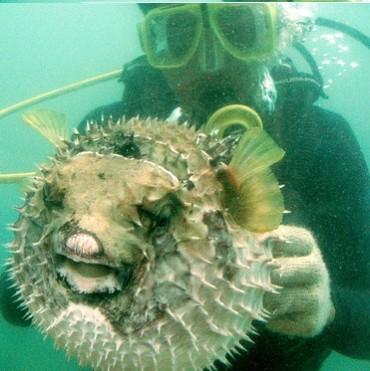 Уловиха отровна риба балон в Черно море