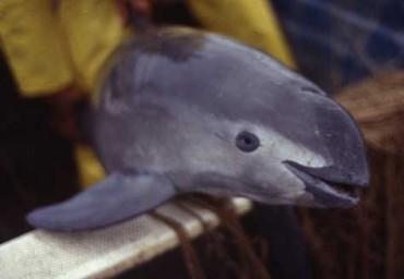 Грийнпийс алармира: Унищожаваме още един морски вид, в океана останаха само 97 вакита (снимка)